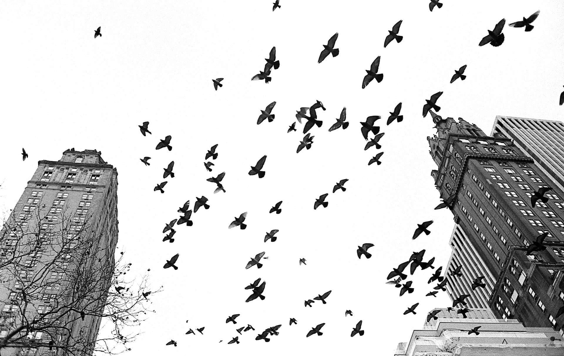 Pigeons Over Central Park